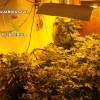 Desmantelado un invernadero con 700 plantas de marihuana en Padul y detenido su dueño