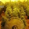 Descubren en Padul más de 1.000 plantas de cannabis