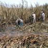 AUDIO: ¿Qué fue del cultivo de la caña de azúcar en la Costa de Granada?