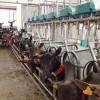 El organismo absorbe más minerales de la leche de cabra si está fermentada